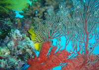 Gorgonian-sea-fan-sm